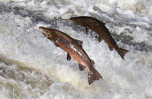 Salmon-mike-hall